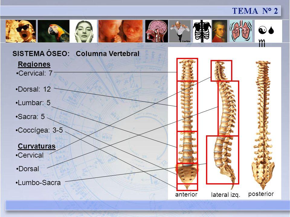 [Se] SISTEMA ÓSEO: Columna Vertebral Regiones Cervical: 7 Dorsal: 12